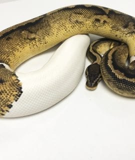 Female Pastel Pied Royal Python 2.45kg CB