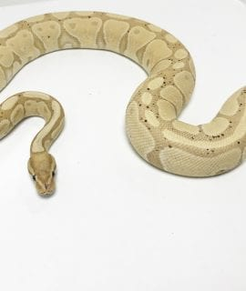 Female Banana het Genetic Stripe Royal Python 1.4kg CB14