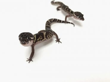Male and Female Banded Gecko CB