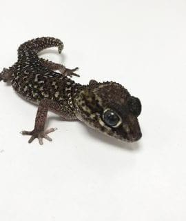 Male Ocelet Gecko CB17