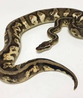 Male Pastel Sugar Royal Python CB18