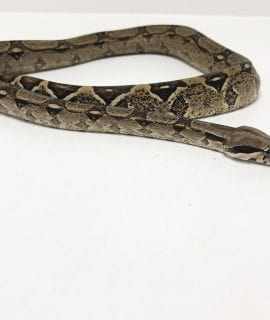 Female Common Boa CB18