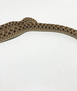 Female Twin Spot het Toffee Western Hognose 170g CB
