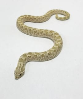 Male Toffee Western Hognose 140g CB Adult