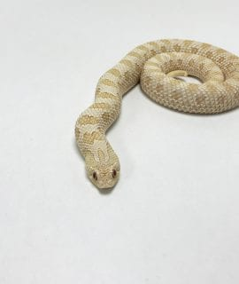 Female Albino Anaconda Western Hognose Sub Adult CB