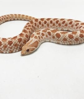 Male High Red Albino Western Hognose 180g CB Adult