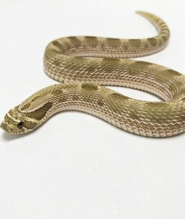 Male Green Anaconda Western Hognose 70g CB