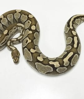 Female Butter het Ghost Royal Python 1.6kg CB