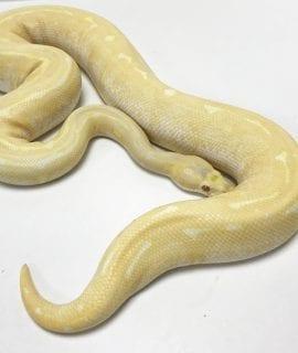 Female Albino Pinstripe Royal Python 1.2kg CB