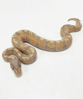 Male Banana Cinnamon Royal Python CB19