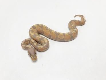 Male Banana Cinnamon Royal Python CB19
