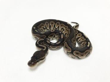 Female Cinnamon Royal Python CB19