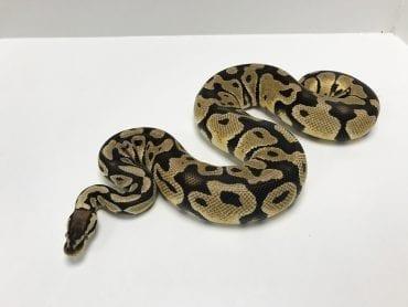 Male Pastel het Ghost Royal Python 1.5kg CB