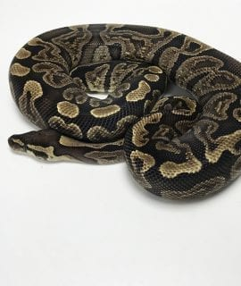 Female GHI Royal Python 750g CB