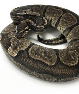 Male GHI Royal Python 750g CB