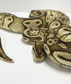Female Butter Pastel Royal Python 2.4kg CB