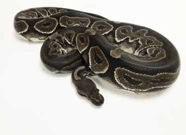 Female Cinnamon Royal Python Proven Breeder 1.8kg CB
