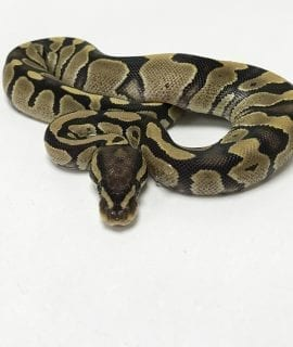 Male Fire poss het Axanthic Royal Python CB19