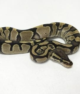 Female Fire poss het Axanthic Royal Python CB19