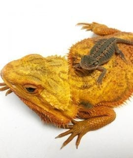 Red Citrus Hypo Translucent Bearded Dragon CB19