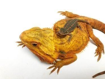 Red Citrus Hypo Translucent Bearded Dragon CB19
