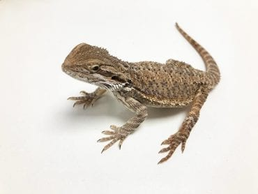 Female Juvenile Classic Bearded Dragon CB18
