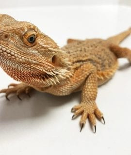 Female Sub Adult Classic Bearded Dragon CB