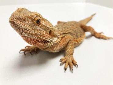 Female Sub Adult Classic Bearded Dragon CB