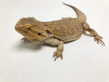 Female Adult Classic Bearded Dragon CB