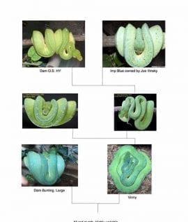 Male Vinsky (Joe Vinsky Blue Line) Green Tree Python CB16