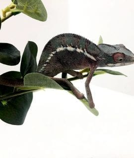 Male Nosy Be Panther Chameleon (5 months) CB19