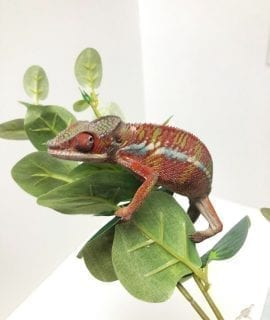 Male Red Bar Ambilobe Panther Chameleon (5 months) CB19