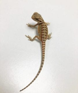 Yellow Citrus Hypo het Translucent Bearded Dragon CB19