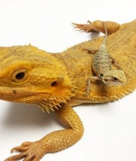 Yellow Citrus Hypo Translucent Bearded Dragon CB19