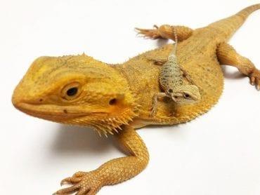 Yellow Citrus Hypo Translucent Bearded Dragon CB19