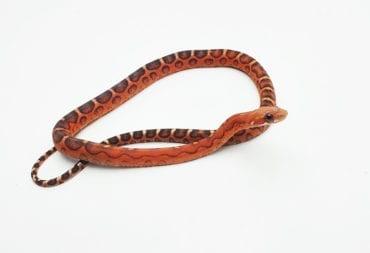 Classic Scaleless het Amel, Anery Corn Snake CB19