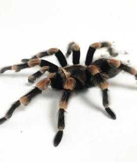 Male Mexican Red Knee Tarantula SA