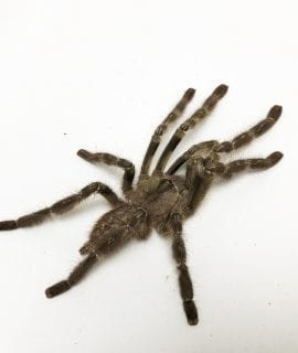 Male Indian Ornamental Tarantula