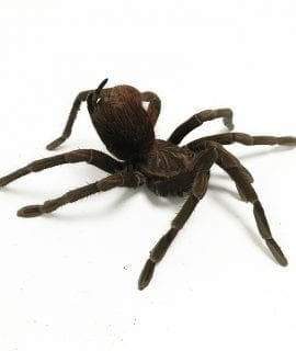 Female Pamphobeteus sp. aquatica Tarantula