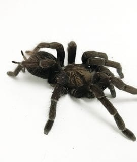 Male Pamphobeteus sp. aquatica Tarantula
