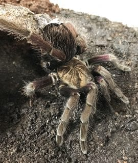 Female Colombian Purple Bloom Tarantula
