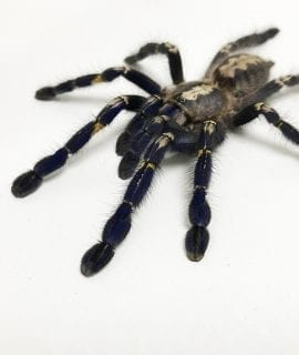 Female Gooty Ornamental Tarantula