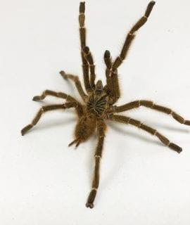 Orange Starburst OBT Tarantula