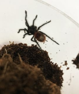 Mexican Red Rump Tarantula
