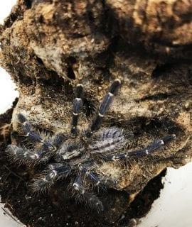 Gooty Ornamental Tarantula m