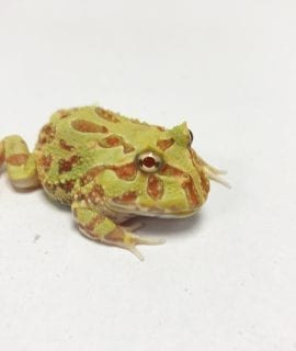 Lime Green Albino Horned Frog CB19