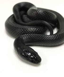 Male Mexican Black King Snake Adult CB
