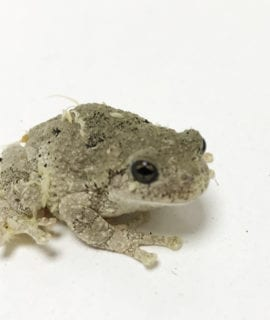 Cope's Grey Tree Frog CB19