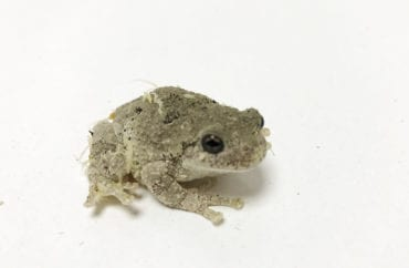 Cope's Grey Tree Frog CB19