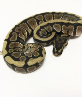 Male Spotnose het Clown Royal Python CB19